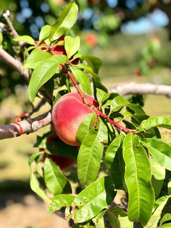 friske orchards farm market near charlevoix michigan peaches
